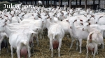 cabras lecheras, vacas lecheras, ovejas lecheras
