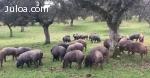 Dehesa y Montanera: Cerdo Ibérico