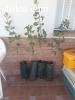 Plantas de olivos almendros y pistacheras todo tipo de traba