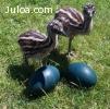 Pollitos de Emu y huevos de Emu fértiles disponibles.