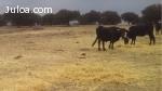 vacas cruzadas