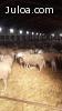 Vendo 700 ovejas rasa aragonesa
