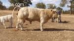 vendo novillos toros