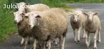 Vendo ovejas y corderos de la Subbética. urge