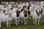 Venta de cabras lecheras, vacas lecheras, ovejas lecheras