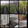Venta de plantas de olivo