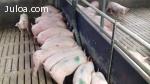Venta de sistema de alimentación líquida porcina