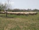 Venta ganado ovino