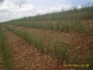 vetiver - semilla - haz - macolla - venezuela